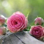 Ile kwiatów na przeprosiny?